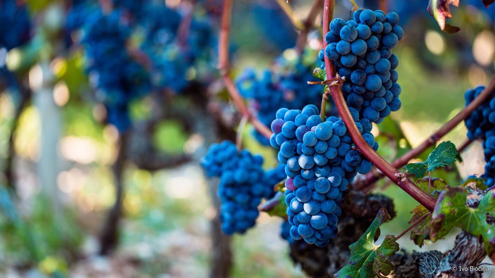 Tour Dalmatia, Home of Zinfandel Grape – My Hidden Croatia
